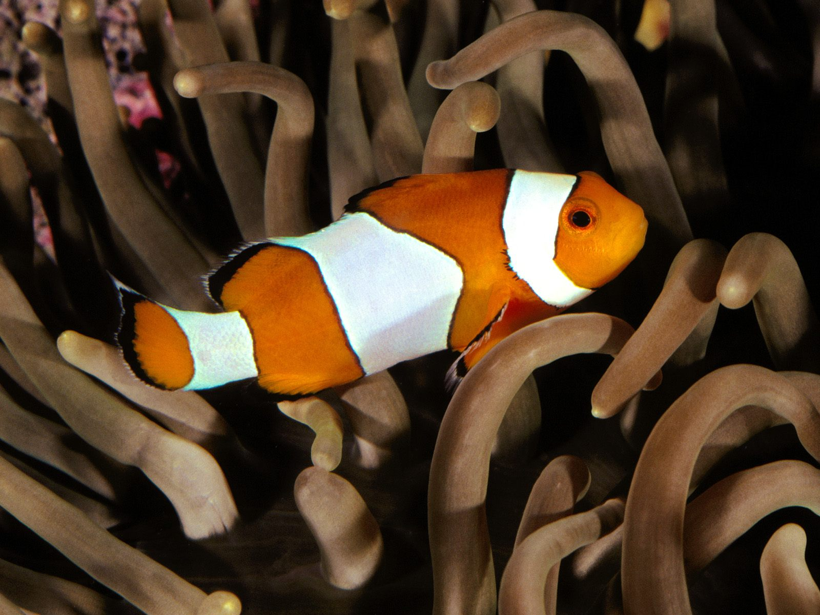 Percula Clownfish, Indo-Pacific.jpg